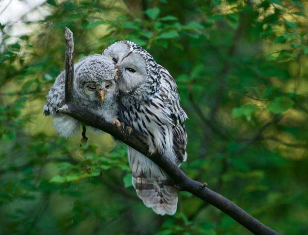 A Love Affair With the Ural Owl